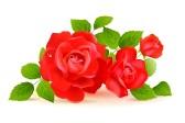15339202-roses-rouges-avec-feuilles-vertes